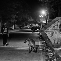 """Only rarely are the scavenging habits of Hyena viewed with gratitude,and the most interesting example I know is the Town of Harar in Ethiopia, where they walk in the streets without being molested. Occasionally they are even feed by the inhabitants and they have become extremely tame (Kruuk 1968; pl. 18)."