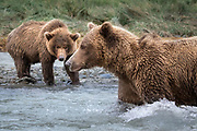 A yearling cub intently watches mom searching for the next meal.  The cub who looks very healthy and well fed was always ready for another salmon.