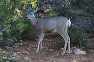 06: GRAND CANYON MULE DEER