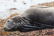 Large eyes and rolls of blubber are trademarks of southern elephant seals