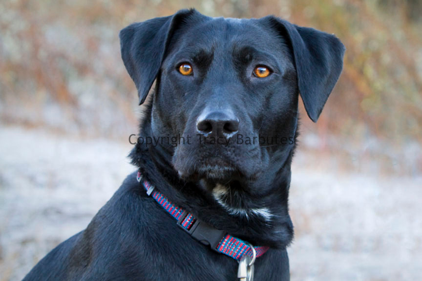 Portrait of a black dog with brown eyes with a plaid collar