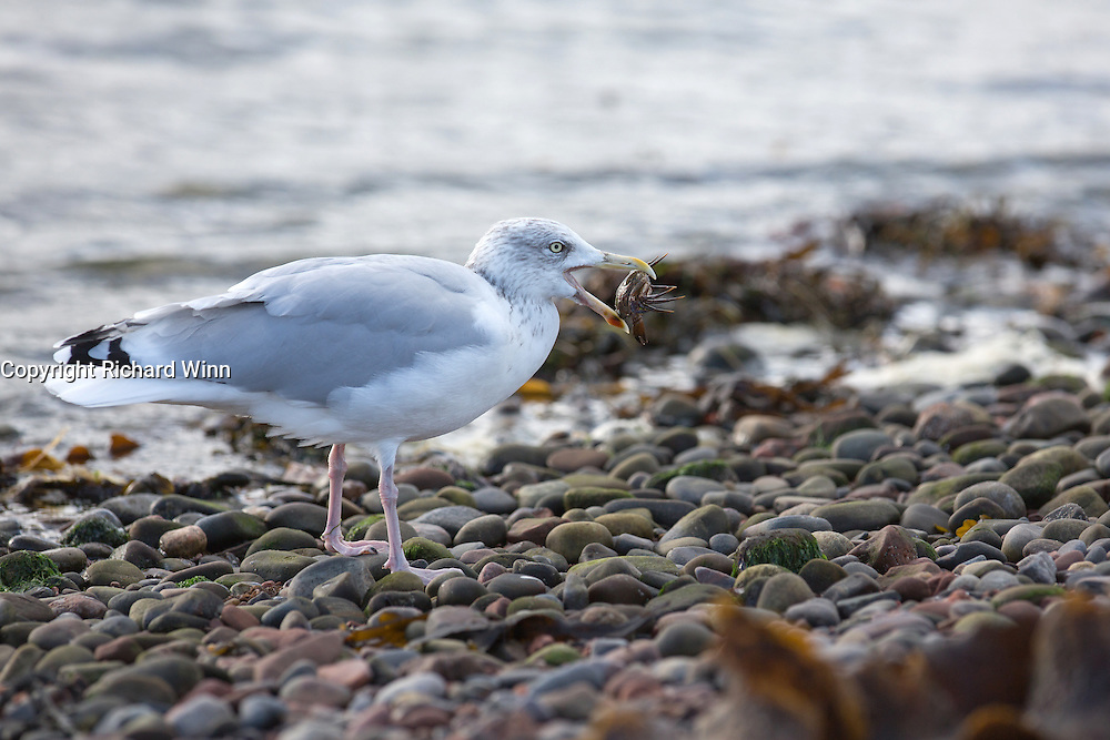 Herring gull carrying a shore crab at Chanonry Point, having just caught it in the shoreline.