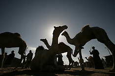 Camel trading in Egypt