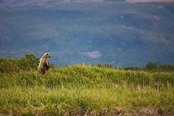 A coastal brown bear ( Ursus arctos ) standing,  early morning , morning, Katmai Peninsula, Alaska