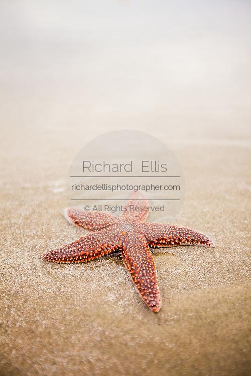 A sugar starfish (Asterias rubens) on Isle of Palms beach near Charleston, SC.