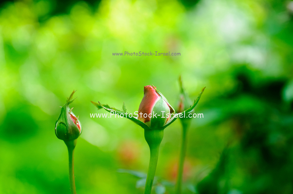Perfect Red Rose bud with lush green background