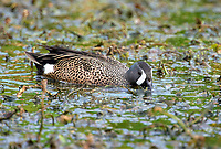 Blue-winged Teal (Anas discors),  Green C   Photo: Peter Llewellyn