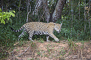 Jaguar<br /> Panthera onca<br /> Cuiaba River, Brazil