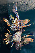 The Red Lionfish (Pterois volitans), also known as the Turkey Fish or Dragon Fish, is found in Pacific coral reefs. The scorpionfish are a family (Scorpaenidae) of mostly marine fish that includes many of the world's most venomous species. Lionfish have venomous spines that are deadly to their prey, but usually not to humans. A pricked human can still experience severe pain, headaches and vomiting. The best treatment is soaking the afflicted area in hot water. Seattle Aquarium, Washington, USA.