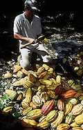 Mazorcas de Cacao. La mazorca de cacao está rellena de una pulpa rosada o blanca viscosa, dulce y comestible, que encierra de 30 a 50 granos de cacao, cuyo sabor natural es amargo pero indispensables para la elaboración del chocolate. 2001. (Ramón Lepage / Orinoquiaphoto)  The cocoa cob is stuffed of a pink or white viscous, sweet and eatable flesh, which has from 30 to 50 cocoa beans, indispensable for the elaboration of the chocolat. 2001. (Ramon Lepage / Orinoquiaphoto)