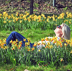 © Licensed to London News Pictures. 25/03/2016<br /> A soaks up the sunshine while sat amongst a row of Daffodils on Good Friday morning today at Footscray Meadows in Sidcup, Kent. Photo credit: Grant Falvey/LNP