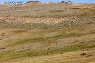 Elk herd below Trail Ridge Road in Rocky Mountain National Park, Colorado, USA