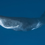This male sperm whale (Physeter macrocephalus) has a series of parallel scars, which are thought to be from deep tooth rakes inflicted by other males during confrontations. The scars are present on the left and right sides of the whale, as well as on the ventral surface. Note also the whitened front of the whale, which is thought by some also to result from accumulated scarring due to inter-male confrontations. Photographed in Ogasawara (Bonin Islands), Japan.