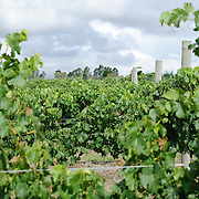 grapes at Summit Estate Winery