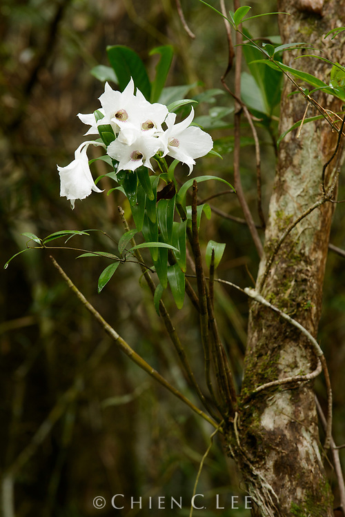 This large and showy orchid (Dendrobium sanderae) grows epiphytically on trees in the mountains of Luzon Island. Aurora, Philippines.