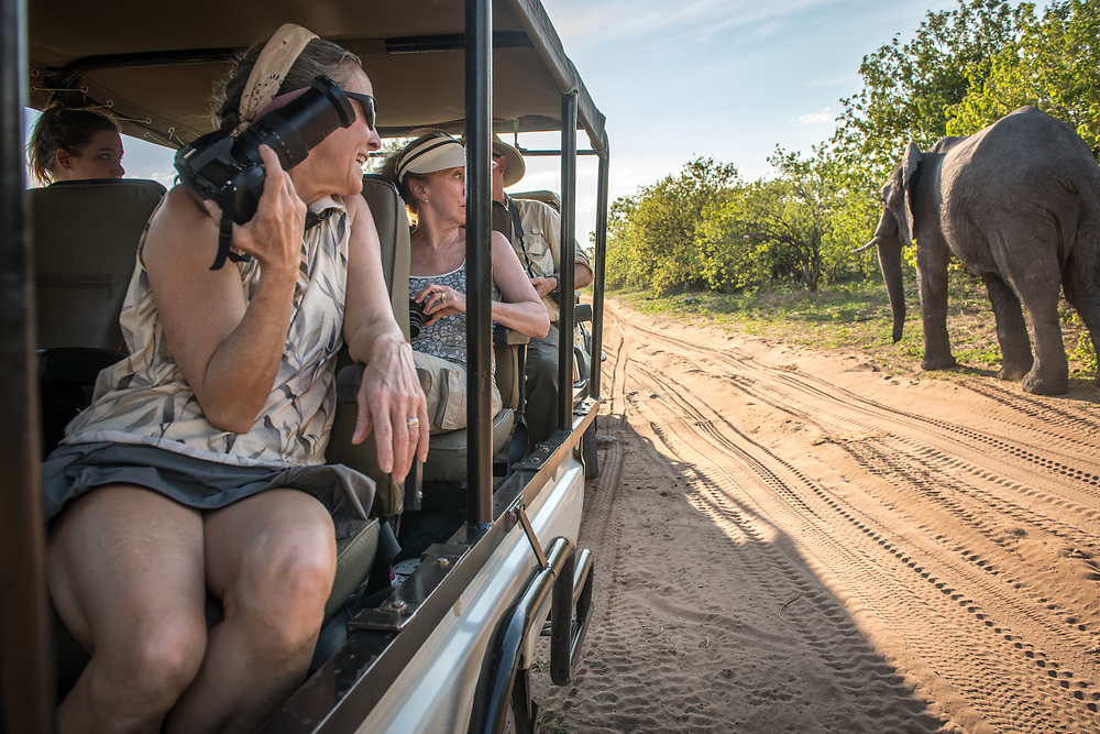 Photographers and safari goers look at African bush elephant (Loxodonta africana) passing by their game drive vehicle, Chobe National Park - Botswana