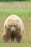 Grizzly Bear Sow Walking Through Meadow, Lake Clark National Park, Alaska