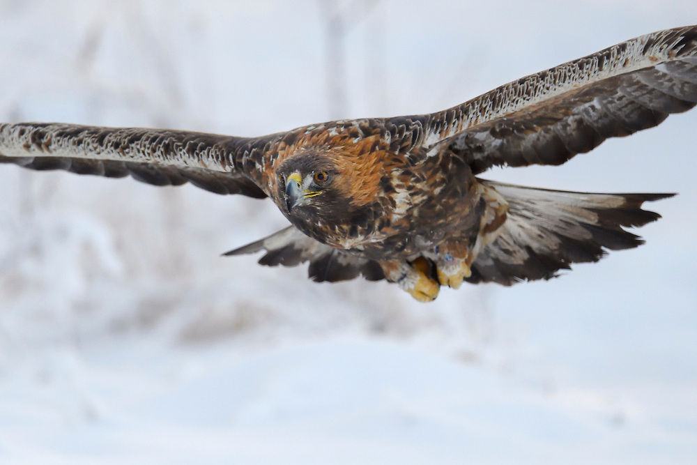 A golden Eagle bird, Aquila chrysaetos, adult male, flying in Kalvtrask, Vasterbotten, Sweden