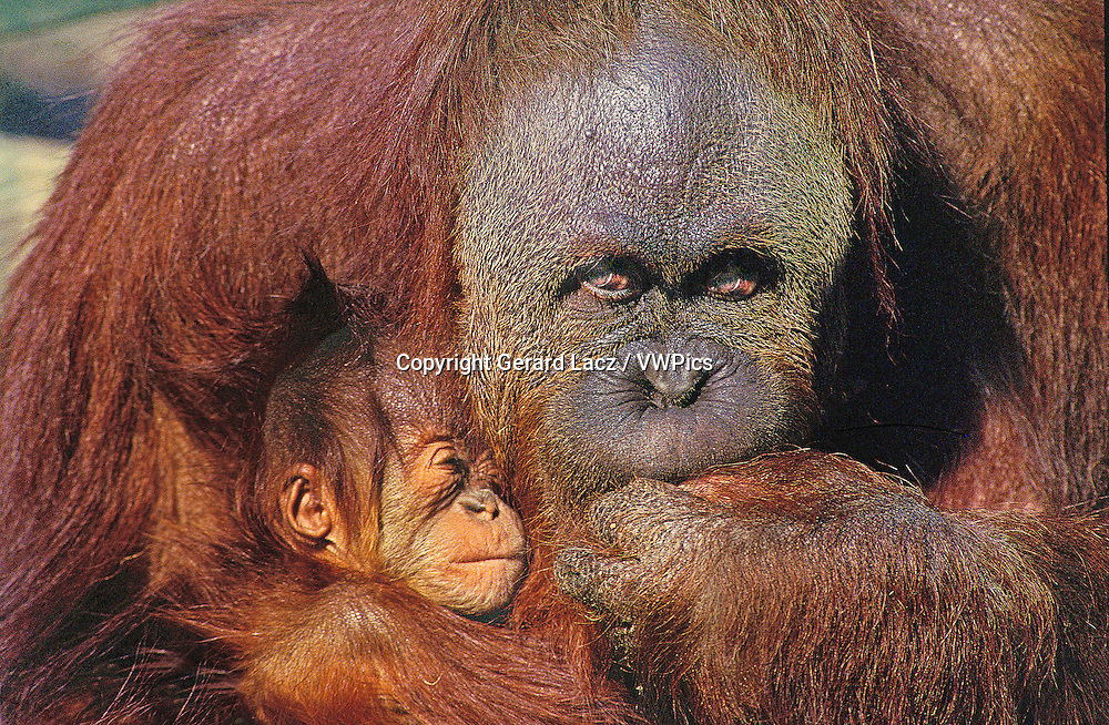 Orang utan, pongo pygmaeus, Female protecting Young
