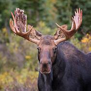 Portrait of a bull moose