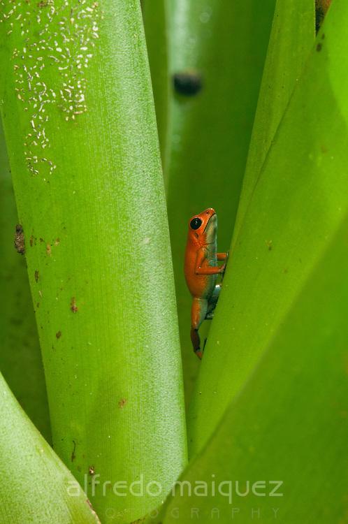 Strawberry Poison Frog (Dendrobates pumilio), Bocas del Toro archipelago, Panama, Central America