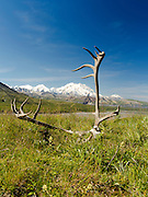 View of Denali, the Great One, framed by caribou antlers, from the Eielson Visitor Center, Denali National Park, Alaska.
