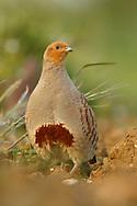 Grey Partridge (Perdix perdix) adult, standing, Norfolk, UK.