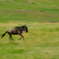 Motion blur created while wildebeest was running in Serengeti National Park Tanzania.