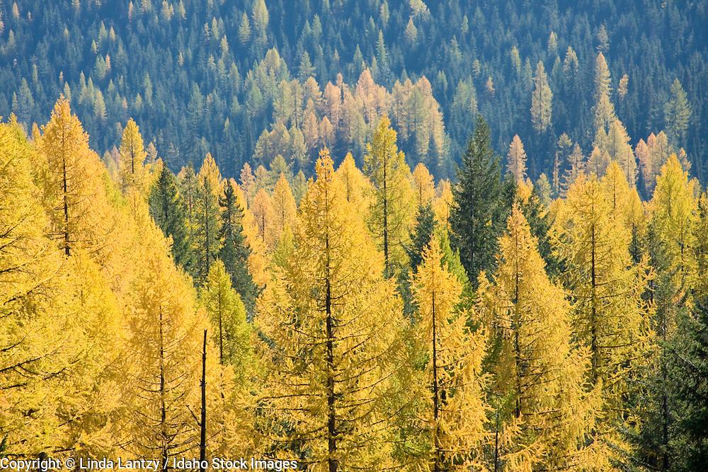 Idaho, Kaniksu National Forest, Selkirk Mountains. Needles of the Western Tamarack turn golden in autumn.
