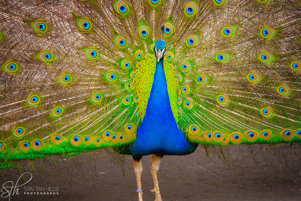 Peacock - Point Defiance Zoo - Tacoma, WA