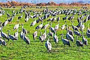 Israel, Hula Valley, Grey Cranes Grus grus at the Agmon lake winter January