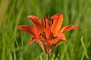 Wood lily (Lilium philadelphicum<br />Tolstoi Tall Grass Prairie Preserve<br />Manitoba<br />Canada