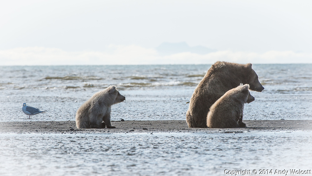 Coastal Brown Bears (Grizzlies)