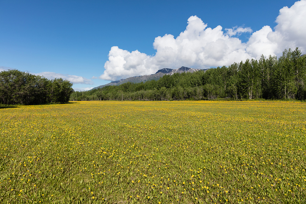 Field of Dandelions in Wrangell St. Elias National Park in Southcentral Alaska. Summer. Morning.