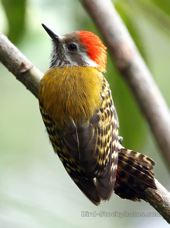 Abyssinian Woodpecker, Dendropicos abyssinicus, Ethiopia, by Markus Lilje