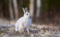 Snowshoe Hare (Lepus americanus) showning beginning of change from winter to summer coat, Cherry Hill, Nova Scotia, Canada,