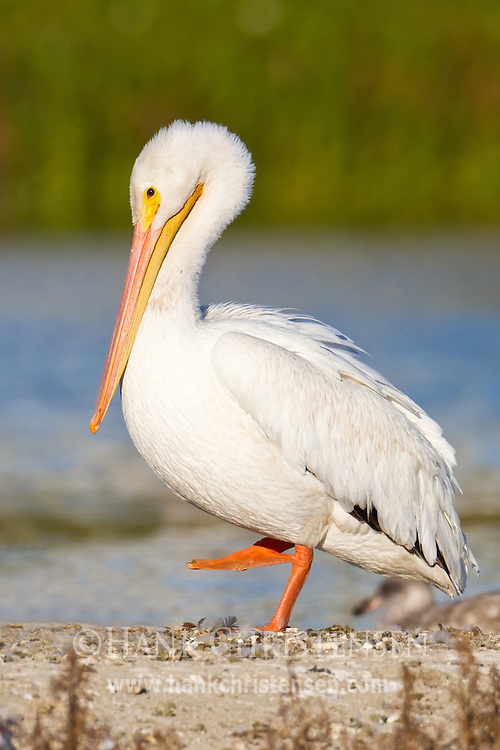 An american white pelican stands on one foot on the shore of a lake