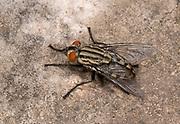 Close-up of a flesh-fly (Sarcophaga dux) resting on a rock in a coastal habitat, Rovinj, Croatia