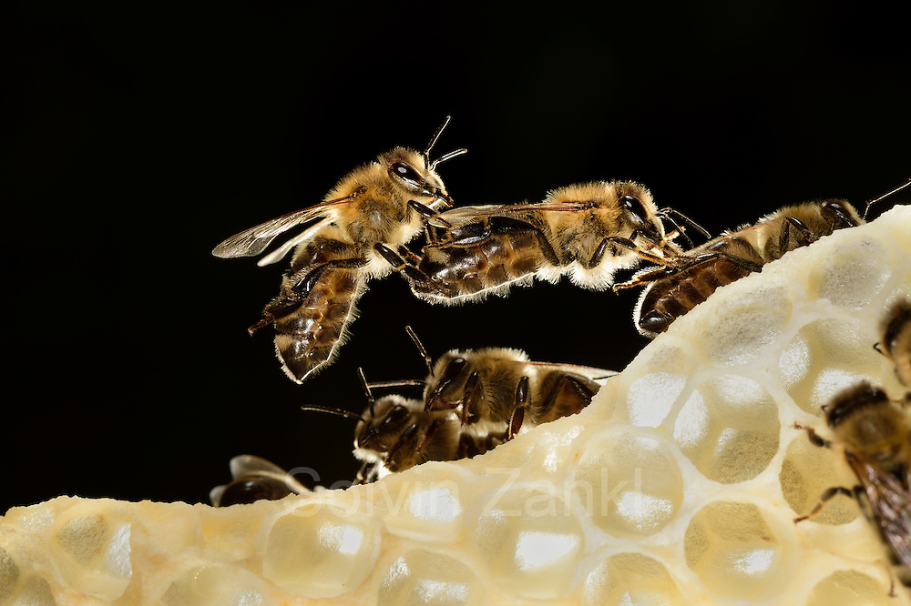 Honey bee (Apis mellifera), Kiel, Germany | Die Honigbiene (Apis mellifera) formt lebende Ketten, über die Artgenossen klettern können, um größere Abstände zu überbrücken. Diese Ketten beschreiben auch das Lot, in der die Artgenossen beim Wabenbau ihr Bauwerk ausrichten. Kurz vor dieser Aufnahme ist die Bienenkette gerissen und die drei verbliebenen Bienen fallen auf die Wabenkante.  Kiel, Deutschland