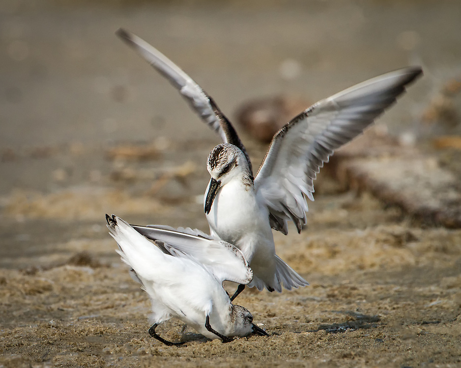 Calidris alba, winter, fighting over food