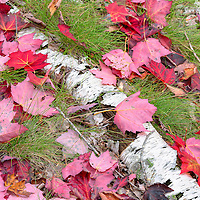 Fallen red maple leaves brighten a piece of birch tree. Cadillac Mountain Entrance to Acadia National Park, Bar Harbor, Maine