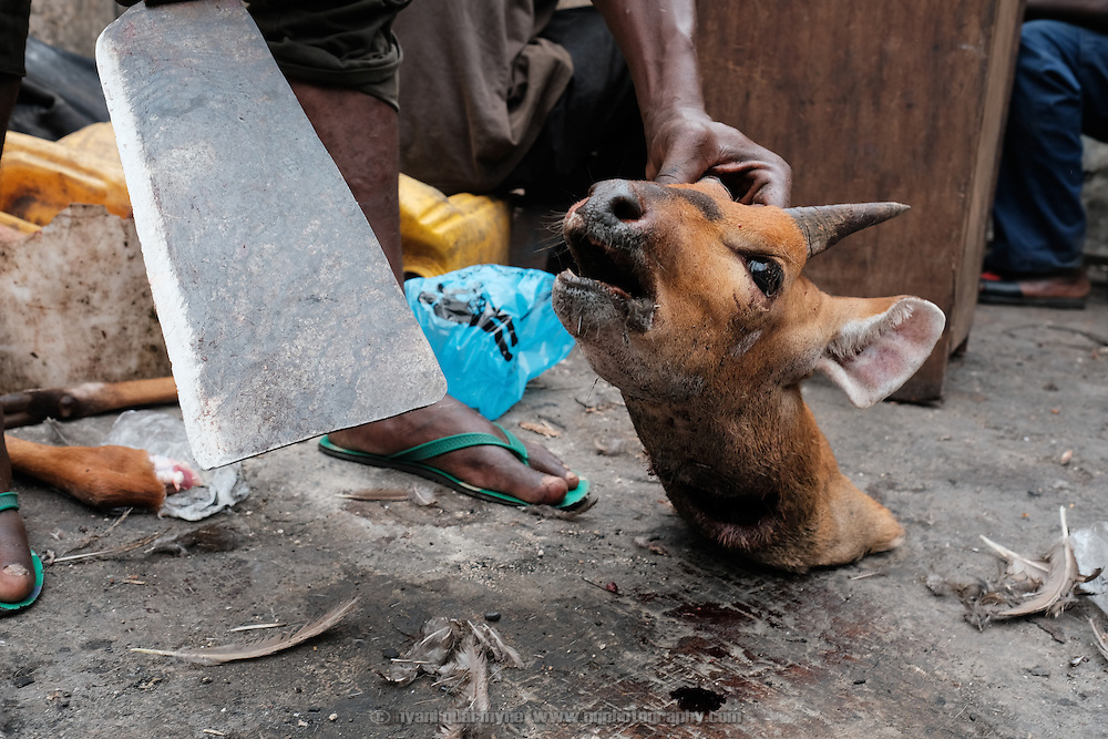 A butcher chopping the horns off the severed head of a bushbuck as its carcass is butchered for sale as bushmeat in Atwemonom, the main bushmeat market, in Kumasi, Ghana on 7 September 2016. Horns are sold separately for the magical powers that some people believe that they possess.<br /> <br /> It was the breeding season for many game animals, and a hunting ban was in force from 1 August to 1 December 2016 with the intention that populations be able to regenerate. Grasscutters (greater cane rats) were the only legal quarry. However, a variety of animals flowed through the market, including duiker, civet cats, wild pigs, mongooses, porcupines, francolins and pangolins.<br /> <br /> Ghana&rsquo;s bushmeat trade is estimated to be worth &pound;105 million a year. Given a lack of current empirical data, it is hard to know how many wild animals are being killed to satisfy this demand, but between hunting and habitat loss it is clear that wildlife populations are declining precipitously. One estimate, now dated, posits that Ghana&rsquo;s wildlife biomass has declined by three-quarters since the 1970s.