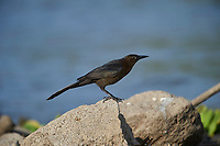 Male  Great-tailed Grackle (Quiscalus mexicanus) along edge of  Lake Chapala, Jocotopec, Jalisco, Mexico