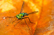 Longlegged Fly (Condylostylus sp.)<br /> United States: Alabama: Tuscaloosa Co.<br /> Tulip Tree Springs off Echola Rd.; Elrod<br /> 29-Sep-2017<br /> J.C. Abbott #2995