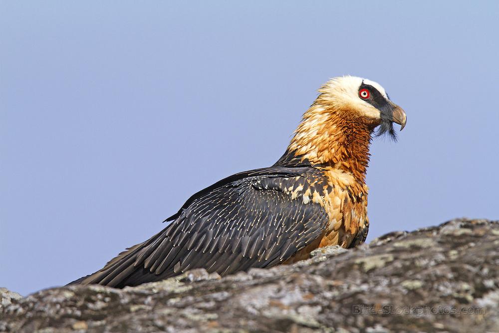 Bearded Vulture, (Lammergeier), Gypaetus barbatus, Ethiopia, by Marius Coetzee