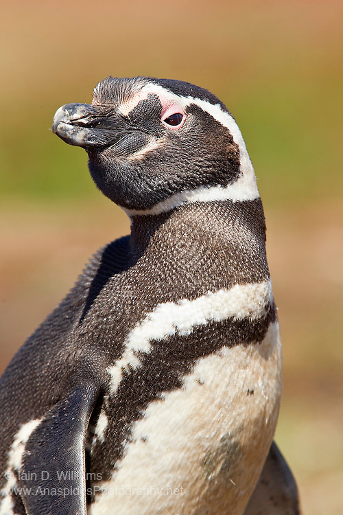A magellanic penguin poises in the late afternoon light before making its way into its burrow