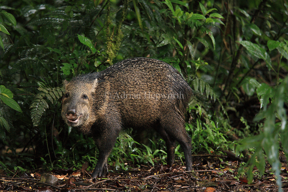 Collared Peccary (Tayassu tajacu) in rainforest. La Selva Biological Station, Costa Rica. <br />