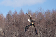 White-tailed Eagles fighting over a fish (3)
