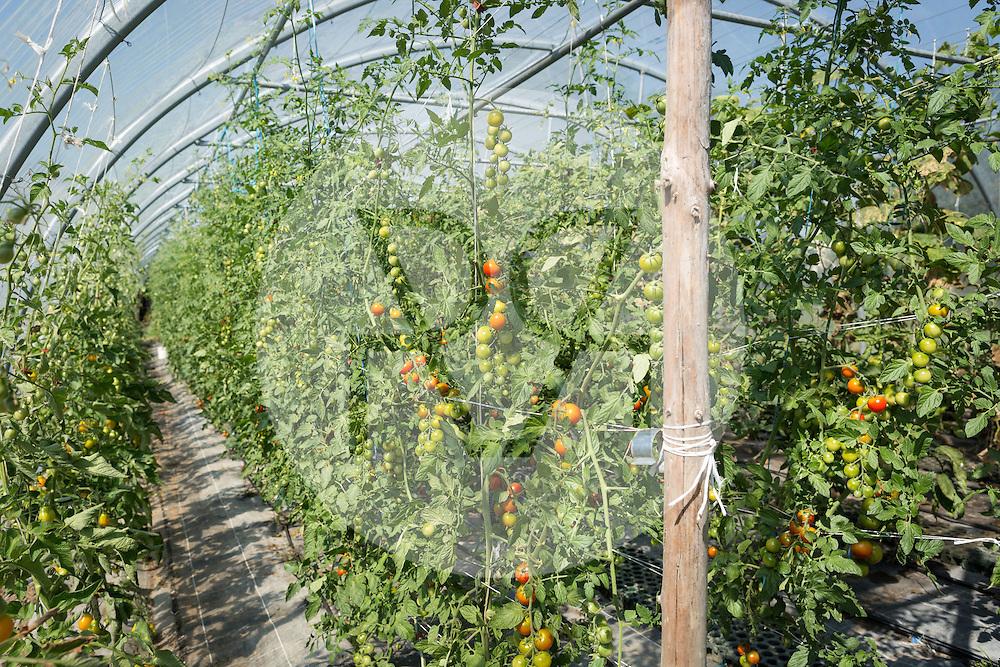 SCHWEIZ - MEISTERSCHWANDEN - Tomaten in einem Gewächshaus - 08. August 2016 © Raphael Hünerfauth - http://huenerfauth.ch