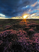 Blooming heather at Sunset in the Dunes of Texel, the Netherlands.